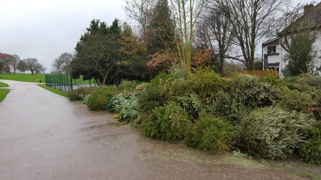 Christmas trees for recycling at Mountsfield Park 2016