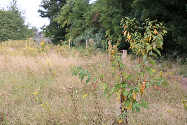 Mountsfield Park community garden cherry tree August 2016