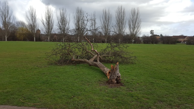Dead tree at Mountsfield Park 2017. Died prematurely due to mower and strimmer damage 2017