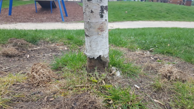 Mountsfield Park play area 2017 - recently planted semi-mature birch tree bought with Lewisham Section 106 funds, dead because of strimmer damage causing ring-barking or girdling. Replacement and maintenance cost £350.00 approx