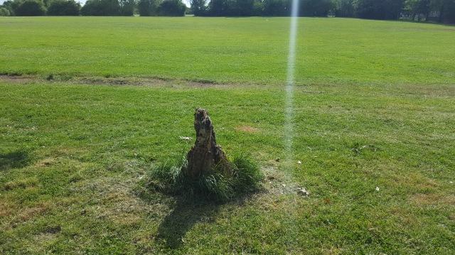 Dead avenue tree at Mountsfield Park near Stainton Road