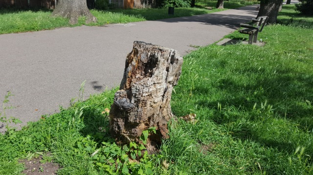 Dead avenue tree at Mountsfield Park near the Brownhill Road entrance. Died prematurely due to historic mower and strimmer damage.