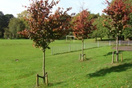 Glendale will be supplying us with a variety of rootballed heavy standard deciduous trees. The trees will grow to a large size and are suitable for growing in London Clay.