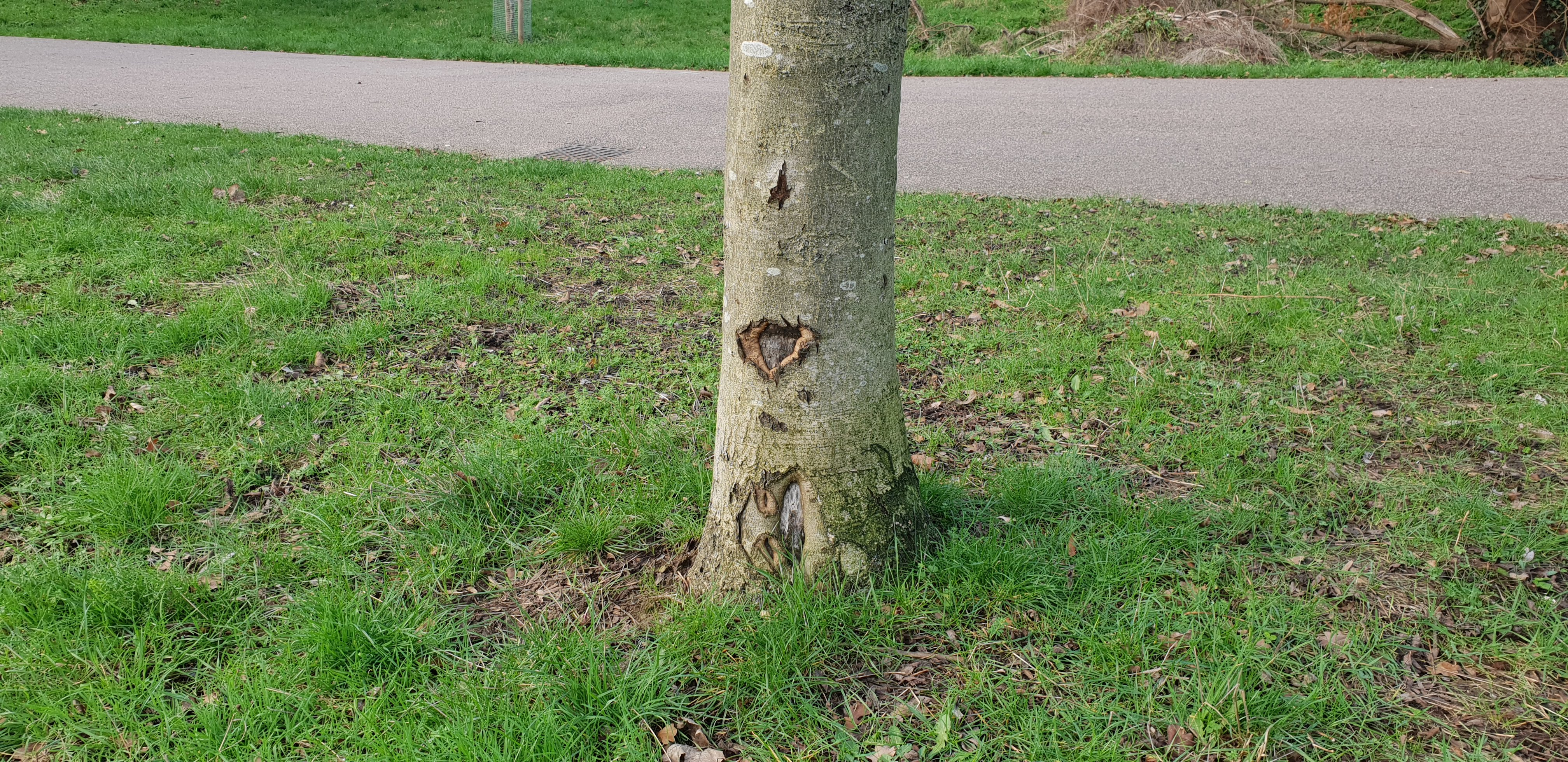 Historic strimmer damage allowing fungal infection at base of ash tree at Mountsfield Park 2018