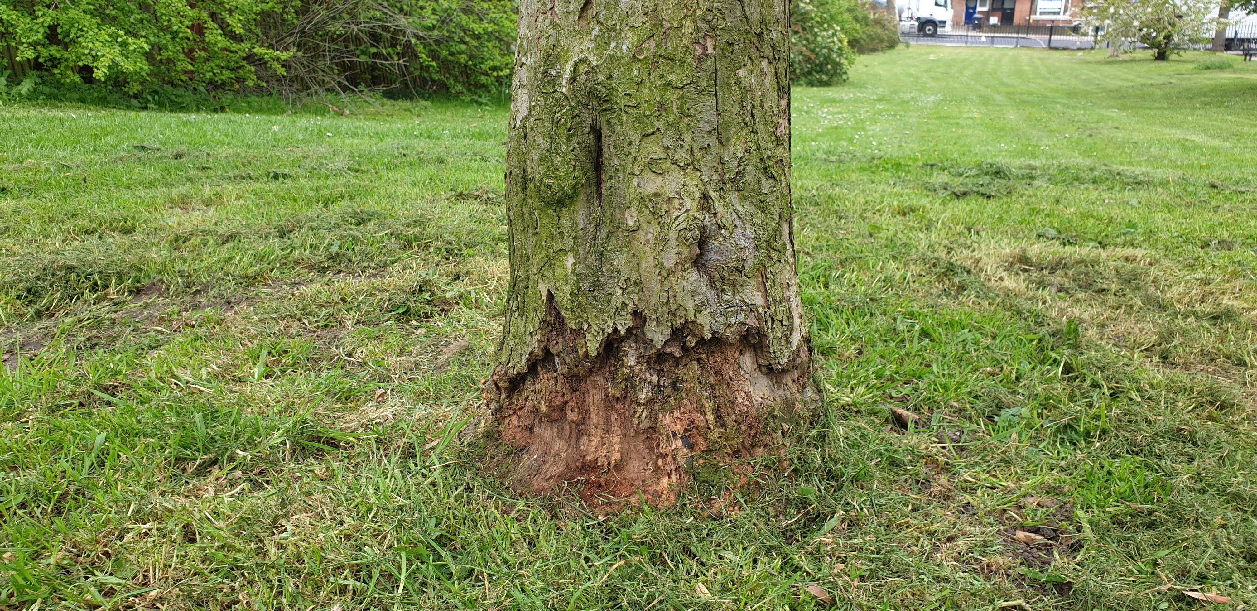 Recurring strimmer / brush cutter tree stem damage at Mountsfield Park April 2019
