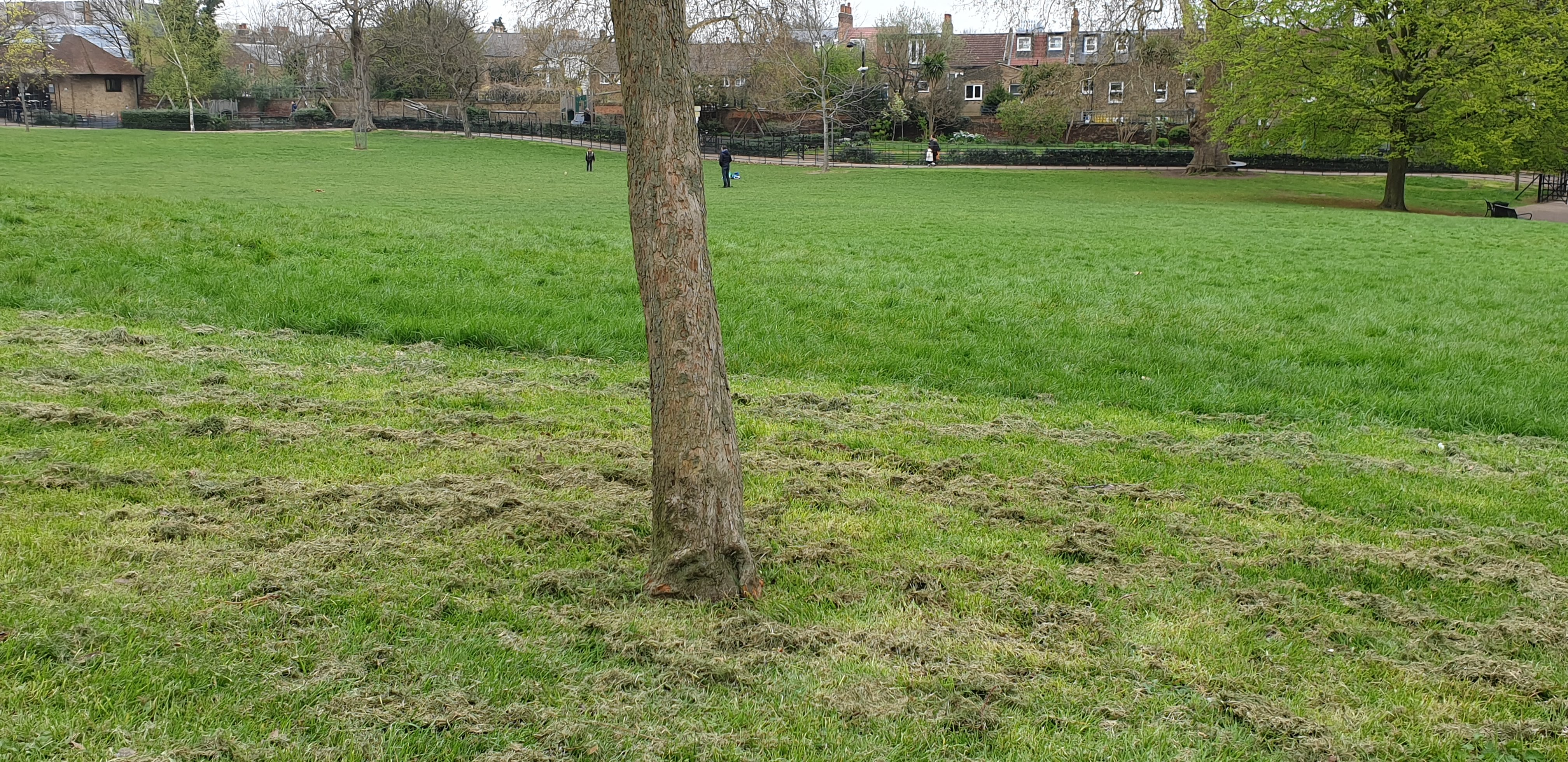 Manor House Gardens, Lewisham April 2019 - fresh strimmer damage which could introduce fungal disease within the damaged cambium layer.