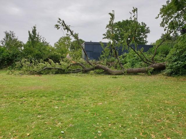 Fallen lime tree at Mountsfield Park 2020